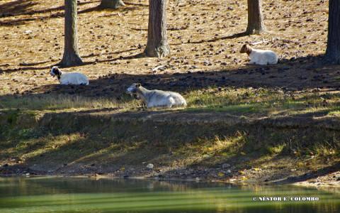 Goats resting lakeside