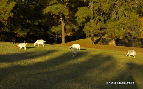 Goats at Pasture