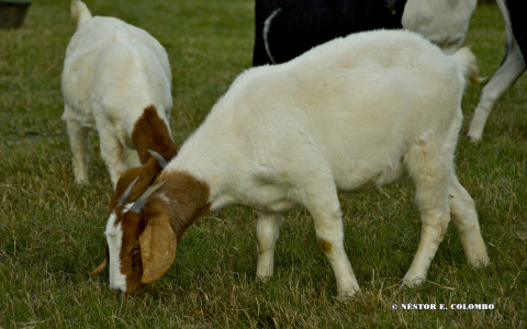 Goat at Pasture
