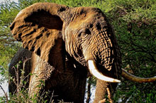 Elefante-Feature