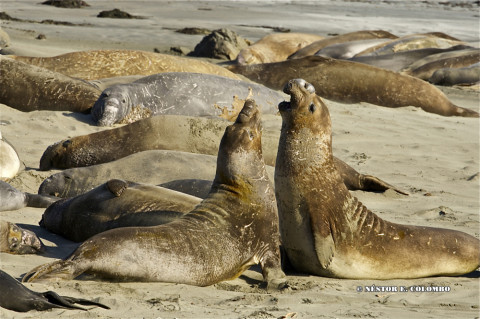 Elephant Seals - Cambria, CA