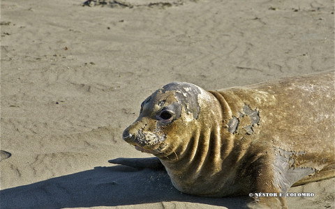 Elephant Seal - Cambria, CA