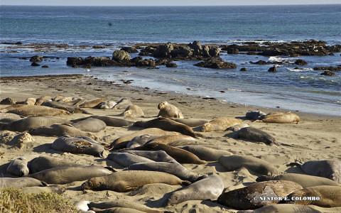 Elephant Seals - Cambria, CA