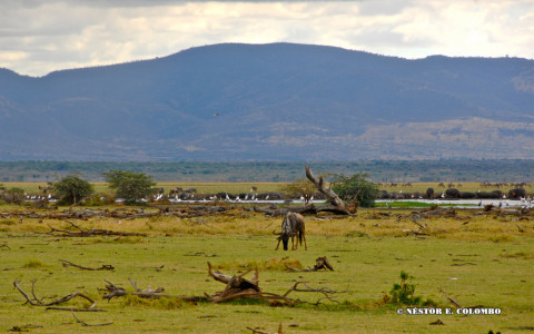 African Safarii